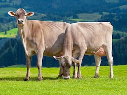 Brown Swiss (Foto: Luca Nolli)